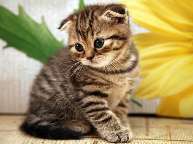 Scottish-Fold-Kitten1