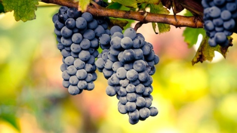 Grape Extract May Be Your New Diet Miracle   StyleCaster