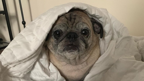 What Does A 'No Bones Day' Mean? Meet Noodle, The Pug Calling The Shots   StyleCaster